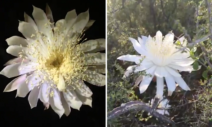 The night-blooming Queen of the Night on June 24, 2018. (National Park Service via Storyful)