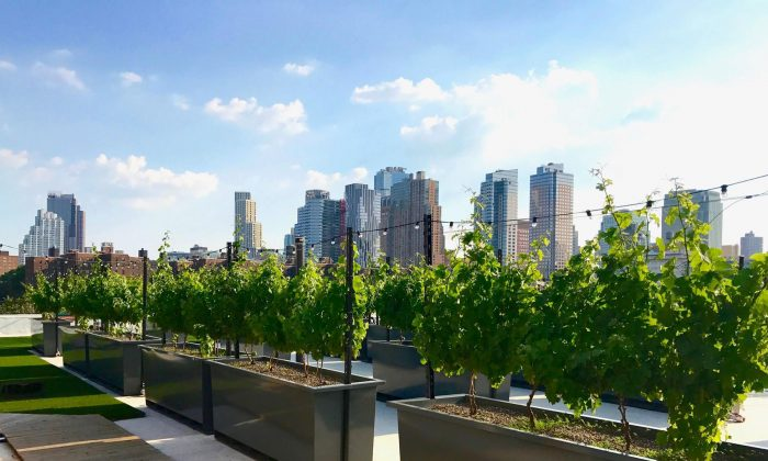 The New York skyline behind rooftop vines. (Courtesy of Rooftop Reds)