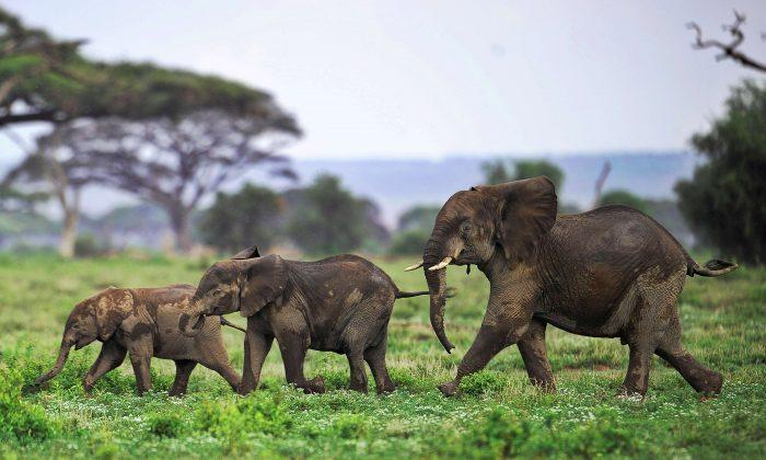 Elephant calves playing at the Amboseli game reserve, approximately 250 kilometres south of Nairobi. (Tony Karumba/AFP/Getty Images)