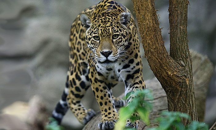 An American Jaguar strolls through its enclosure at Bratislava's Zoo on November 13, 2014. (Joe Klamar/AFP/Getty Images)