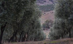 Premium Olive Oil Fresh From Australia