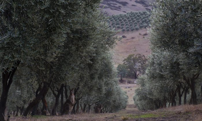 Alto Olives's grove in Peelwood, New South Wales, Australia. (Courtesy of Grove and Vine)