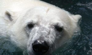 Polar Bear Killed After Attack on Island Off Northern Norway