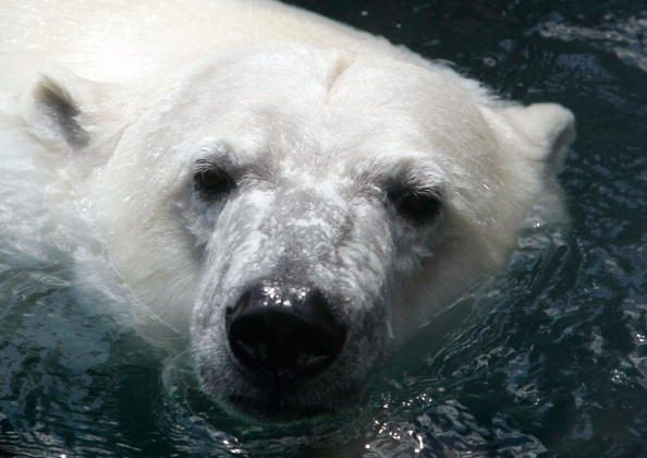 File photo of a polar bear in Maryland Zoo. (Alex Wong/Getty Images)