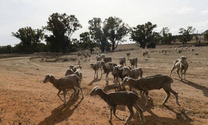 New South Wales is experiencing one of the worst droughts in living memory. (Brook Mitchell/Getty Images)