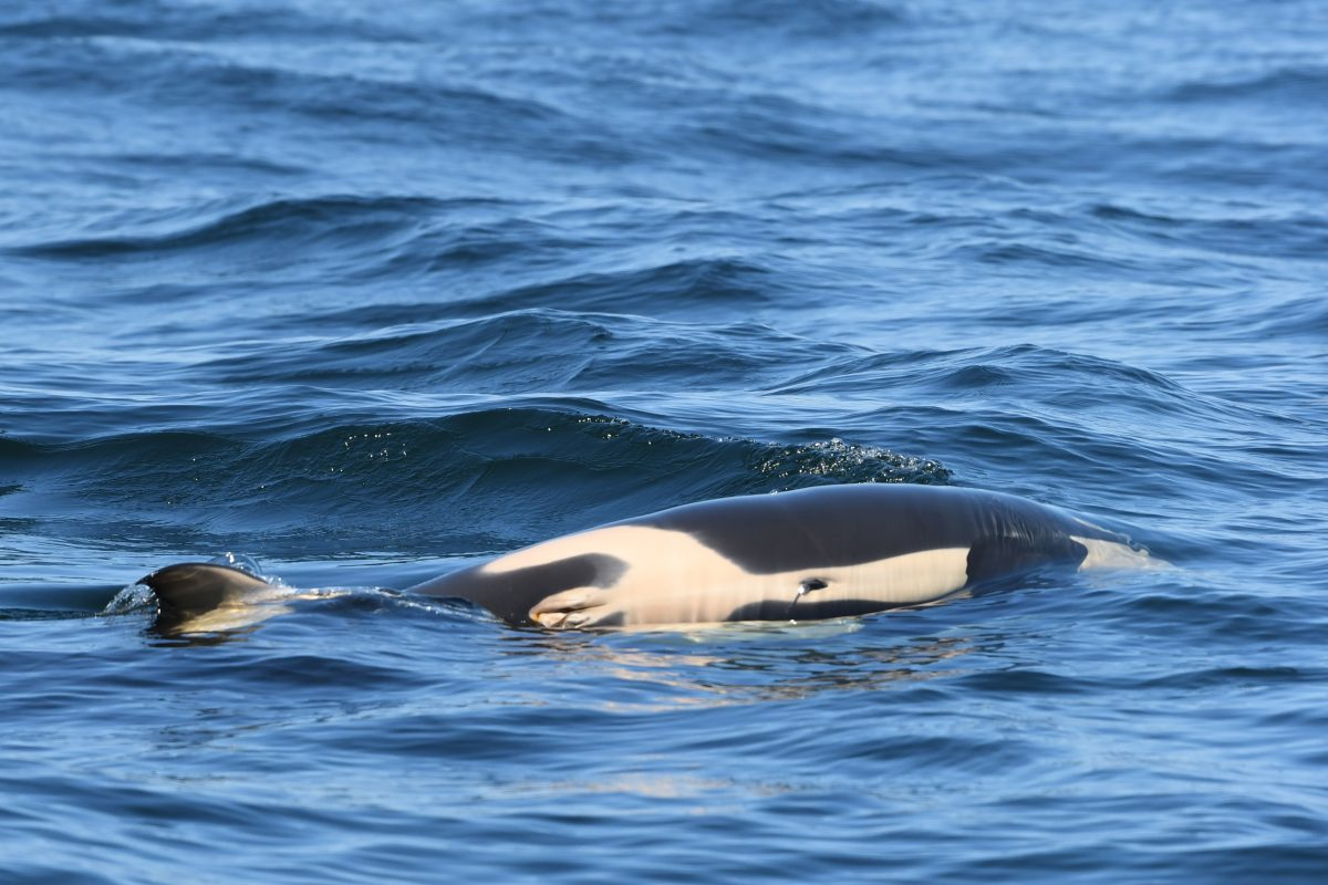Tahlequah's calf was female—a double loss for the pod, which will need breeding females if manages to survive the next decade. (Dave Ellifrit, Center for Whale Research)