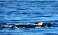 Mother Orca Refuses to Abandon Her Dead Baby