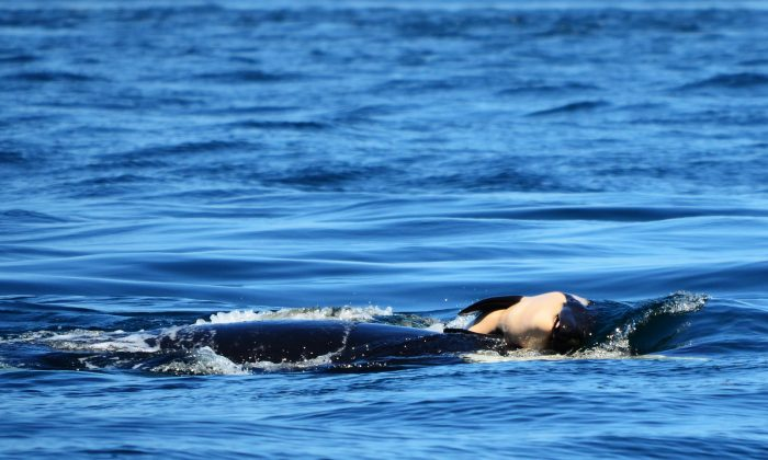 Tahlequah has been keeping her lost calf afloat for seven days as o July 31. (Michael Weiss, Center for Whale Research)