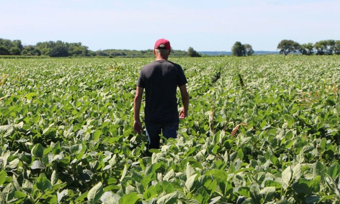 A Farmer walks through his soy fields in Harvard, Illinois on July 6, 2018. (Nova Safo/AFP/Getty Images)
