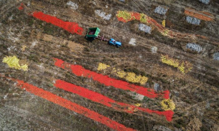 A tractor dumps his trailer of tomatoes on Aug. 6, 2018 near Perly-Certoux, western Switzerland, as a heatwave sweeps across Europe. (Fabrice Coffrini/AFP/Getty Images)