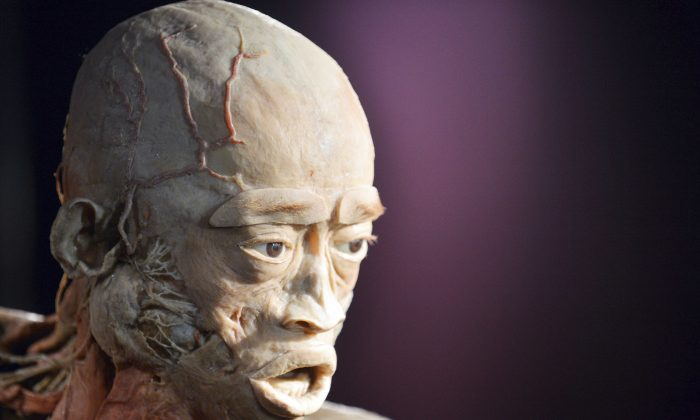 Plastination, used for the cadavers in the Real Bodies exhibition, is the process of using liquid silicone rubber to prevent the natural body process of decaying. The cadaver above is from a previous exhibition called 'The Human Body' in Kiev, Ukraine and is a file photo. (Sergei Supinsky/AFP/Getty Images)