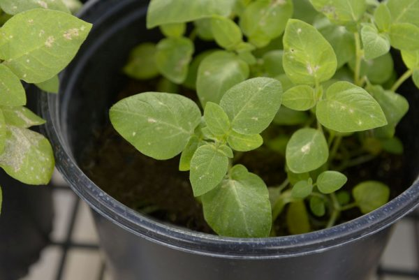A Calyxt potato plant grows in greenhouse.