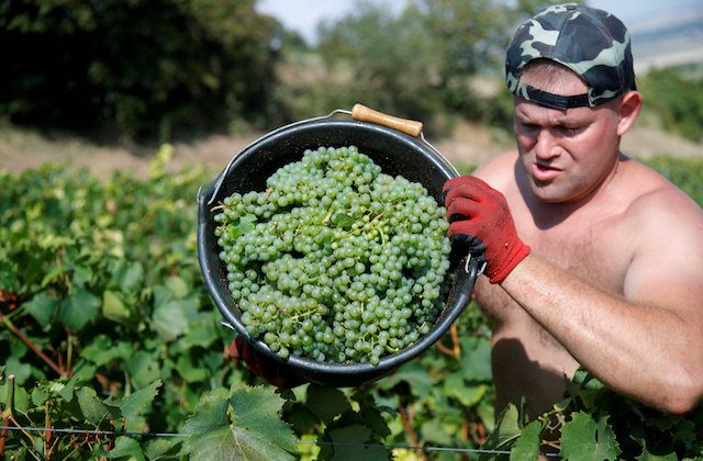 Grape pickers harvest fruit from the vines at the Philippe Gonet vineyard during the traditional Champagne wine harvest in Montgueux, France, Aug. 23 , 2018. (Reuters/Charles Platiau)