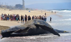Dead Humpback Whale Washes Up on Washington Beach