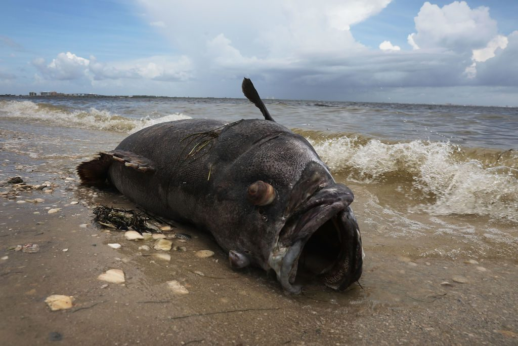 A Goliath grouper is seen washed ashore the Sanibel causeway after dying in a red tide in Sanibel, Florida on Aug. 1, 2018. (Photo by Joe Raedle/Getty Images)