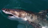 Giant Great White Shark Found Abandoned in Wildlife Park Gets a New Home: Report