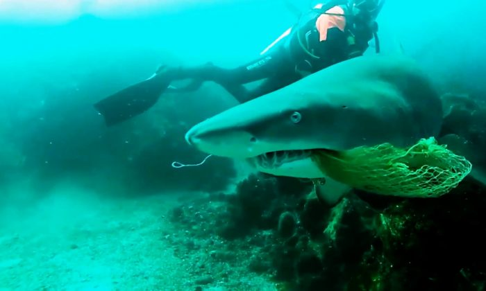 A scuba diving instructor in Byron Bay, Australia, put his safety on the line when he rescued a grey nurse shark from a fishing net near Julian Rocks on Aug. 16, 2018. (Storyful)