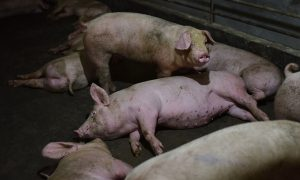 China's African Swine Fever Outbreak Likely Caused by Imports From Russia