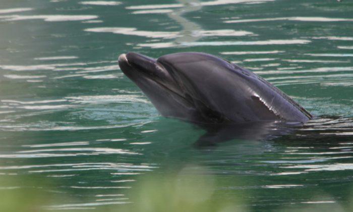 Honey, a bottlenose dolphin, is seen at abandoned Inubosaki Marine Park Aquarium, in Choshi, Japan, Aug. 15, 2018. (PEACE/Handout via Reuters)