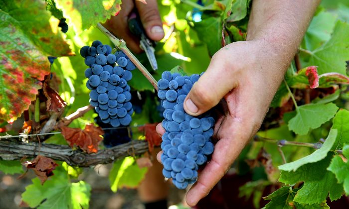 Winegrowers in Champagne began harvesting their grapes in late August. (Francois Nascimbeni/AFP/Getty Images)