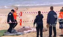 Australia: Bondi Beach Closed Due to Shark-Bitten Whale Carcass