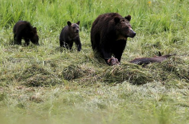 A grizzly bear and her two cubs in Yellowstone National Park in Wyoming on July 6, 2015. (Reuters/Jim Urquhart)