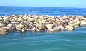 Around 300 Endangered Sea Turtles Killed in Mexico