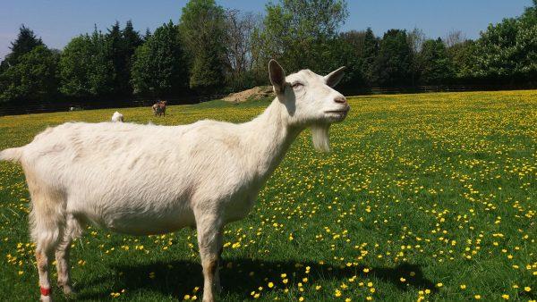 A goat at Buttercup Sanctuary