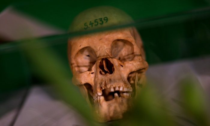 Human skulls from the Herero and ethnic Nama people are displayed during a ceremony in Berlin, Germany, on Aug. 29, 2018. (Reuters/Christian Mang)