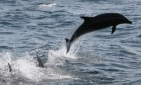 Dolphin's Behavior Forces Mayor to Close Beach in France