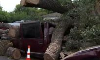 Seven Cars Crushed by 350-Year-Old Tree in California