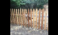 Baby Fawn Stuck in Fence Rescued by Oregon Police Officer