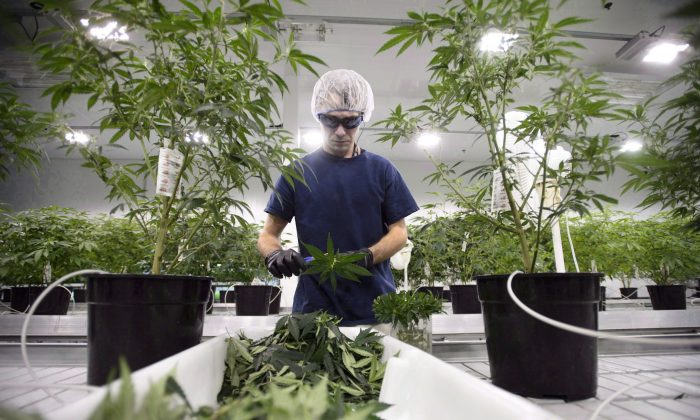 A worker at Canopy Growth Corporation's medical marijuana facility in Smiths Falls, Ont., on Feb. 12, 2018. Recreational marijuana will be legal on Oct. 17 and public-health officials want to remind Canadians that cannabis is a drug that is addictive for some. (The Canadian Press/Sean Kilpatrick)