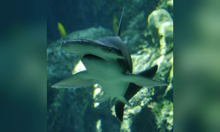 Bonnethead shark swims in Aquarium