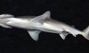 Sharks Eat Their Greens, Too—First Omnivorous Species Confirmed