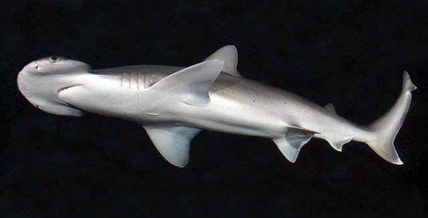 Bonnethead shark, Sphyrna tiburo.
