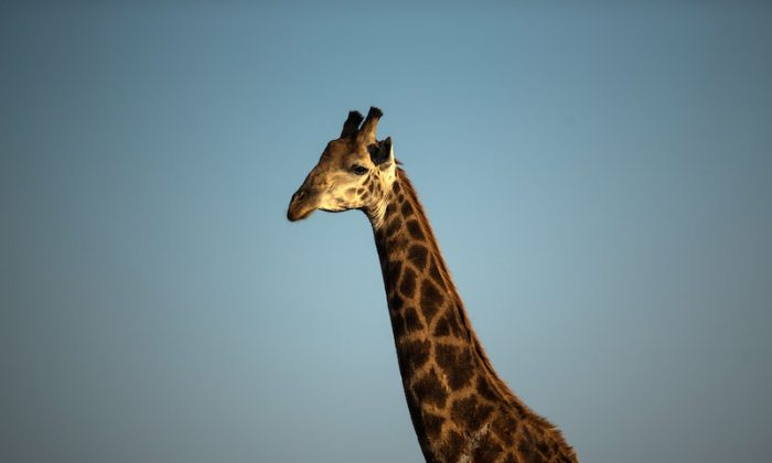 File photo: A giraffe in South Africa in 2013. (Dan Kitwood/Getty Images)