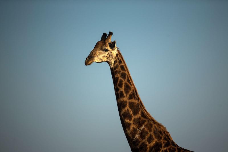 A giraffe in South Africa