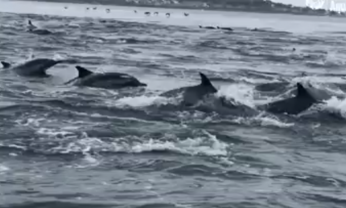 A super pod of dolphins, filmed chasing baitfish off of Cannery Row, California on Sept. 3, 2018 .(Monterey Bay Aquarium  via Storyful)