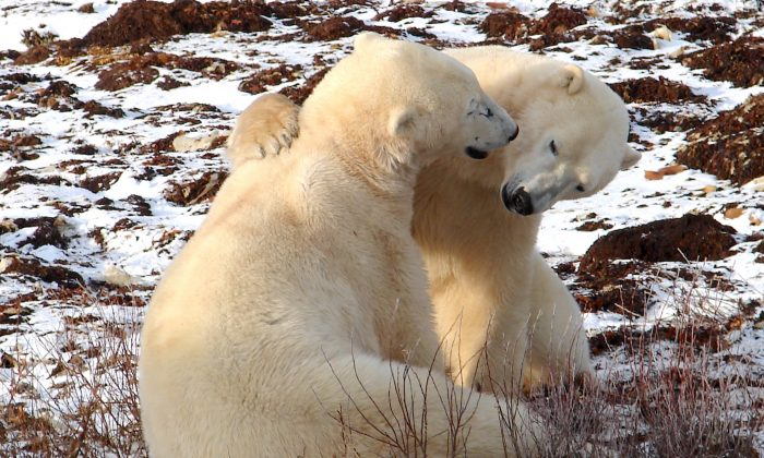 Two polar bears at play on the tundra. (John M. Smith)