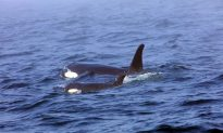 Experts Prepare Plan to Capture Ill Orca as Last Alternative