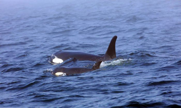 Southern Resident killer whale J50 and her mother, J16, swim off the west coast of Vancouver Island near Port Renfrew, B.C.  In this Aug. 7, 2018. Now NOAA Fisheries and its partners are weighing whether to intervene further to help the orca known as J50. (Brian Gisborne/Fisheries and Oceans Canada via AP)