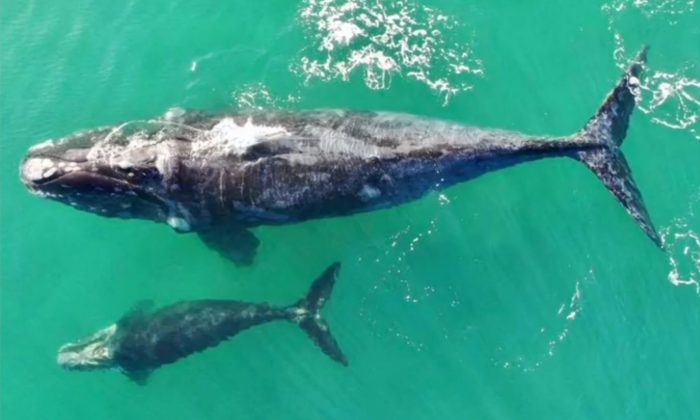 Southern right whale and calf spotted off the coast of Playa Grande, Chile. (Austral Divers Centro de Buceo Quintay-Chile/Reuters)