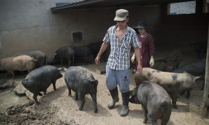 Authorities Discover Large Quantity of Unlicensed Pork as Swine Fever Sweeps China