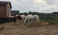 Outer Banks Wild Horses Survive Hurricane Florence