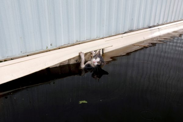 A cat clings to the side of a trailer amidst flood waters