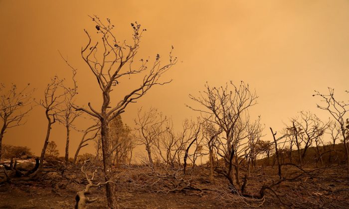 Trees burned by the Mendocino Complex fire stand in a field near Lodoga, Calif. on August 8, 2018 (Justin Sullivan/Getty Images)