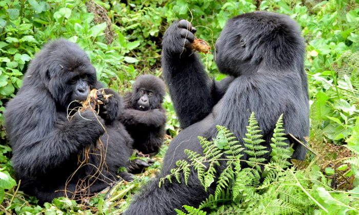 This mountain gorilla family roams around in the safety of its 23-member group, named for its silverback leader, Agashya. Wild celery, roots, fruit, tree bark, and tree pulp make up the main diet of mountain gorillas. (Giannella M. Garrett)