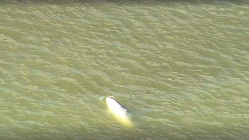 This Beluga whale was spotted in the Thames River