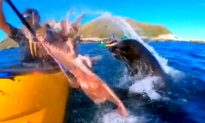 Video: Seal Slaps Kayaker in Face With Octopus